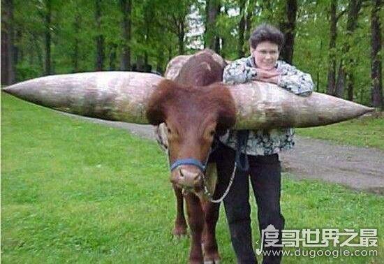 世界上最大的牛角,长达3米价值180万