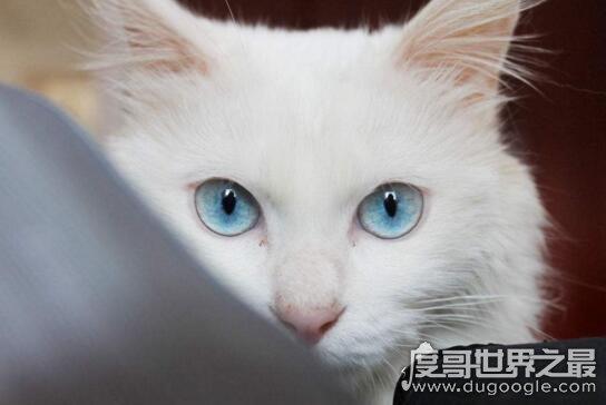 白毛蓝眼睛的猫_蓝眼睛的猫耳聋吗,盘点拥有漂亮蓝眼睛的猫品种 — 度哥世界之最