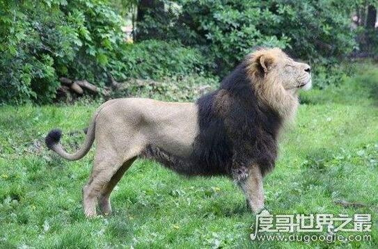 世界上最大的狮子,纯种巴巴里狮子已被人类灭绝
