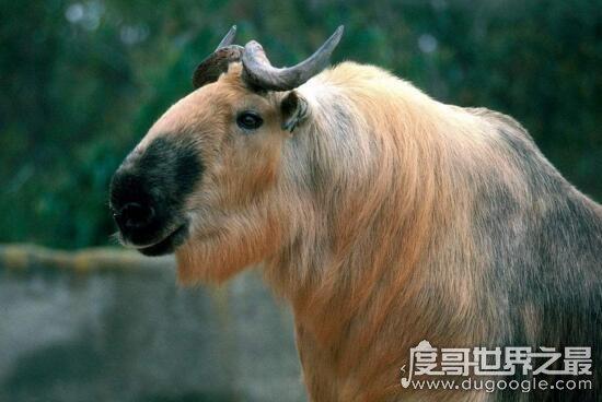 六不像是什么动物,一种叫做扭角羚的国宝神兽