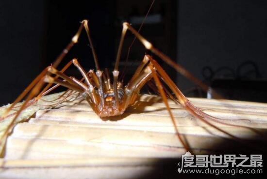 草鞋底子會鉆耳朵里嗎,蚰蜒有毒(yóu yán)但不會鉆人耳