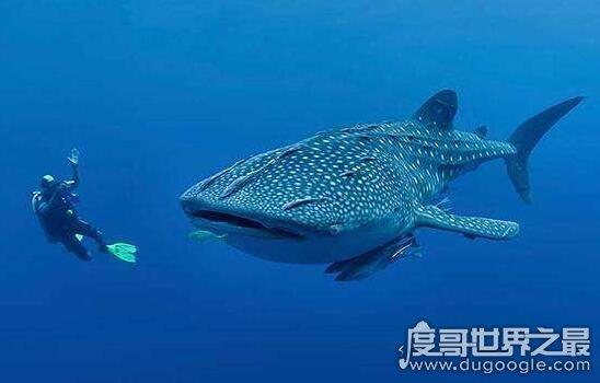 世界最大鱼视频_世界上最大的鱼,鲸鲨长20米(世界上最大的鲨鱼不吃人)—度哥