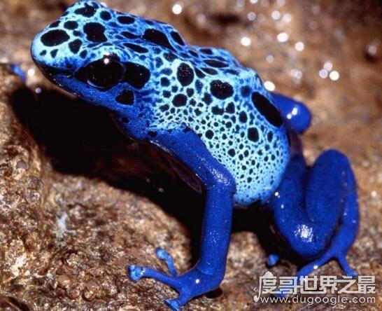 钴蓝箭毒蛙,1克蛙毒可以毒死15000只老鼠