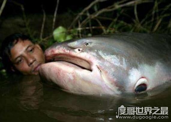 世界十大最凶猛淡水鱼排行榜,亚马逊鲇鱼排第一(超凶猛)