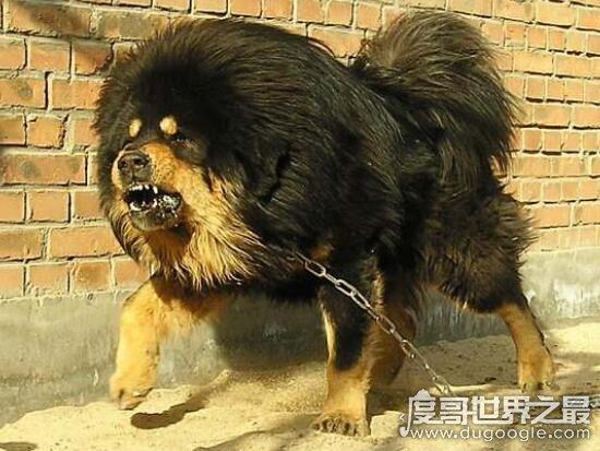 藏獒吃主人事件真相,唤醒主人无果却兽性大发
