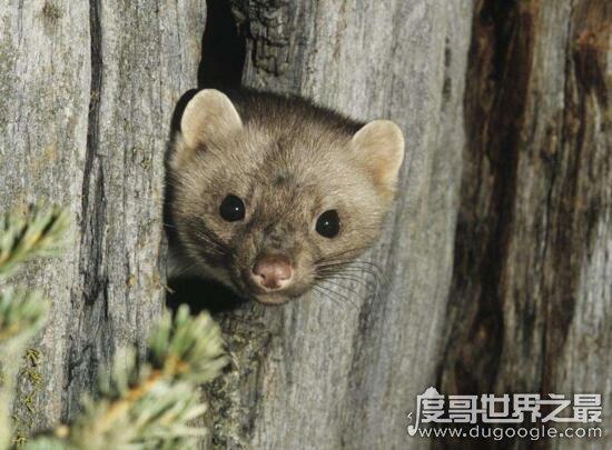 黄鼠狼图片大全,真实的黄鼠狼看起来竟然很可爱