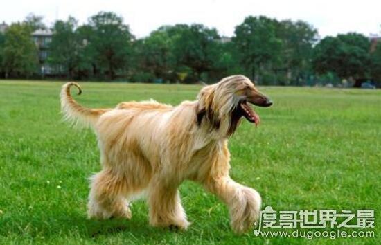 阿富汗獵犬多少錢一只,價值8000的貴族犬(國內禁養)