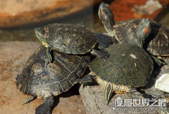 圖解烏龜怎么分公母,通過尾巴就能看出公母的差別