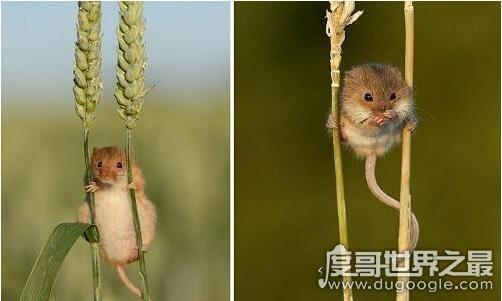一言不合就自杀的上吊鼠,失去食物后就会气到自尽