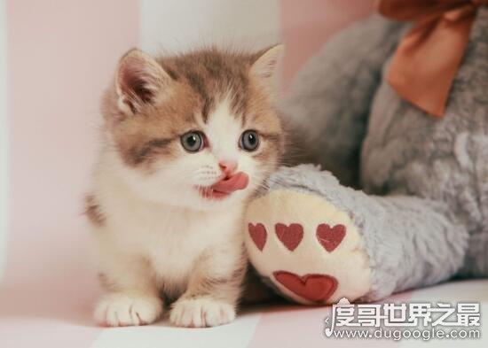 短腿猫就是曼赤肯猫,猫界小柯基/腿短但更灵活