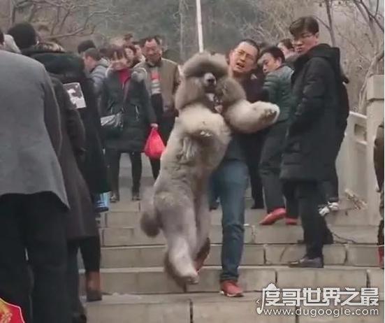 抱100斤巨型泰迪下山累坏狗主人,总有一些把宠物宠上天的主人