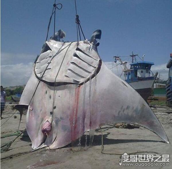 世界上最大的淡水鱼,巨型黄貂鱼重达1吨秒杀湄公河巨鲶