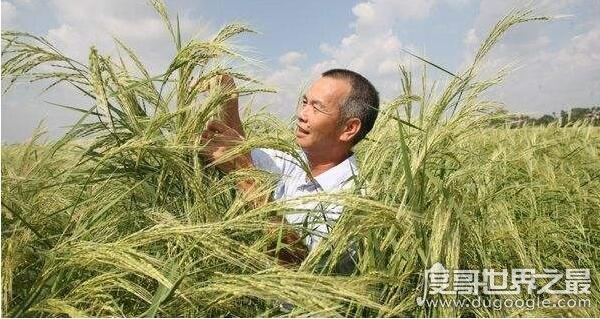 世界上最神奇的稻谷,外青里红的海稻能在海水中生长