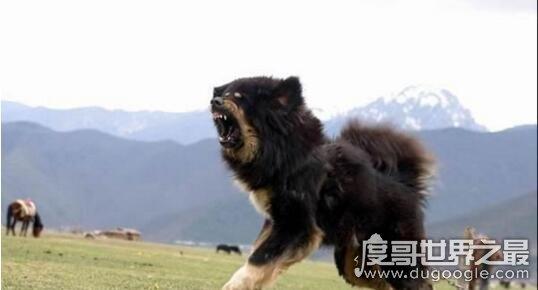 原生藏獒与藏狗的区别,原生态藏獒的吼叫就让人不寒而栗