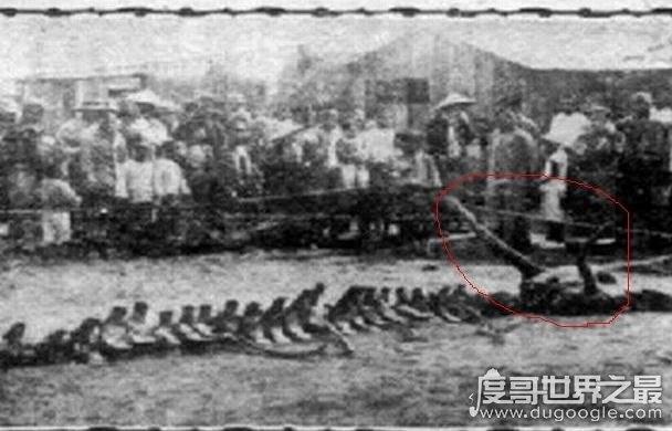 为什么国家要隐瞒龙,所谓龙骨疑似为鲸鱼尸骨