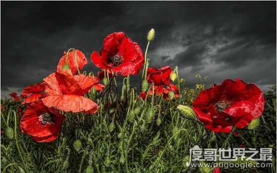 象征死亡的冥界四花,彼岸花是黄泉路上唯一的风景