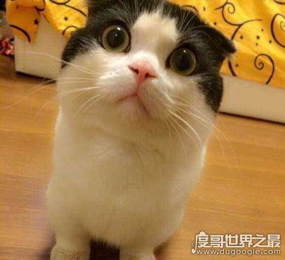 猫类小柯基曼赤肯猫,短腿猫天生小短腿但更加灵活可爱