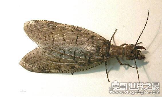 世界上最大的蜻蜓,蛇蜻蜓超过20厘米(比巴掌还大)