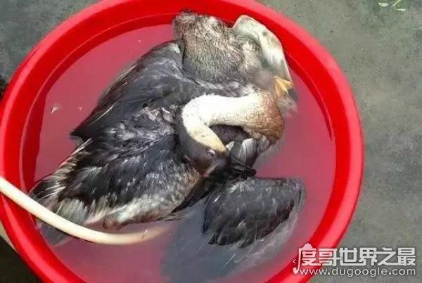 中国十大禁菜之脆鹅肠,用手指从肛门活取鹅肠