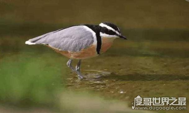 世界上最勇敢的鸟,牙签鸟(竟然能和鳄鱼成为朋友)