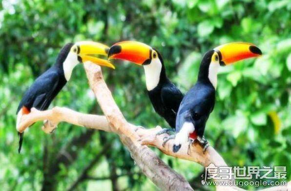 最大的嘴成�_世界上嘴巴最大的鸟,鵎鵼的嘴巴占身体的一半(2)—度哥世界之最