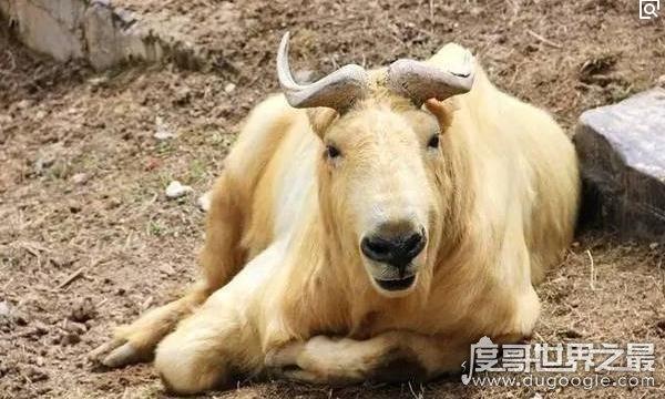 六不像是什么动物,我国独有的神兽扭角羚(几乎见不到)