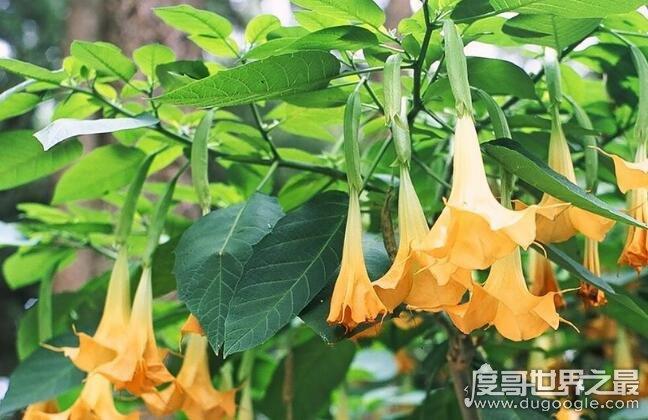 世界十大危险植物,坏女人花汁液能对眼睛造成长期损伤