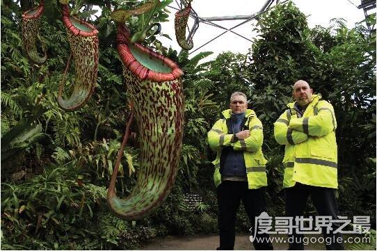 最奇妙的吃人植物,巨型猪笼草高达1.5米捕食小型动物