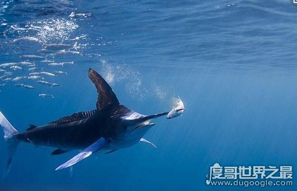 世界上游的最快的鱼,旗鱼每秒能游30.4米(船速的四倍)