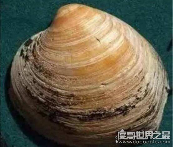 世界上最长寿的动物,500岁的明蛤被50岁的大叔斩杀