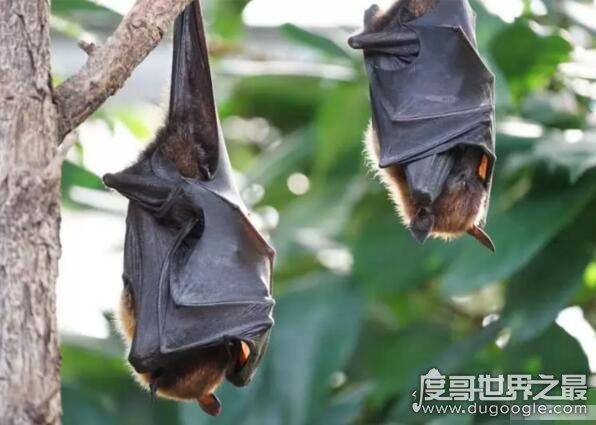 欧冠万博官网登陆听觉最好的动物,擅长超声波的蝙蝠也只排第二