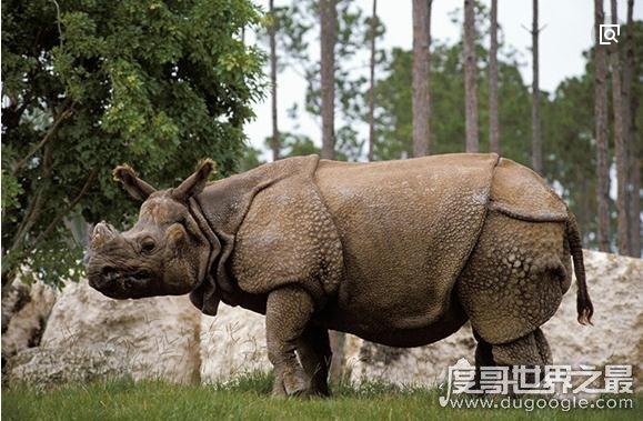 盘点世界十大最珍稀野生动物,爪哇犀牛全球仅存35头
