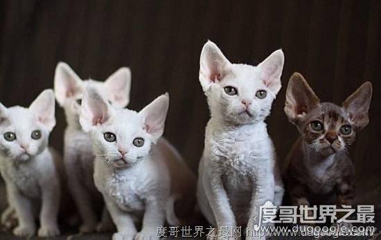 欧冠万博官网登陆品种最名贵的猫