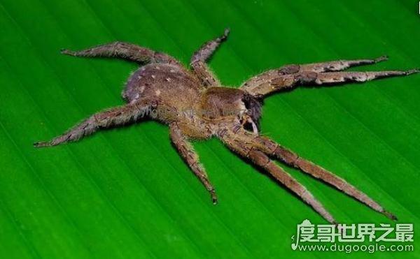 盘点世界上十大最毒蜘蛛,巴西游走蛛可使男人终生阳痿