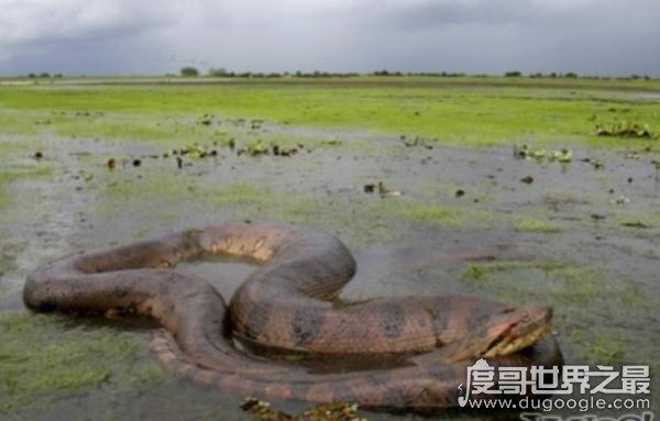 世界上最长的蛇(长500米)红海巨蟒,杀害600人出动军队捕获