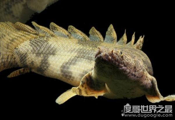 世界上最漂亮的恐龙鱼,虎纹恐龙王鱼(水中的活化石)