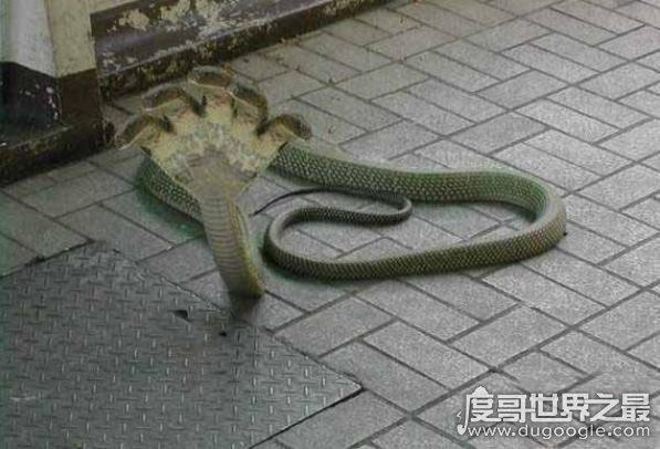 世界上最大五头蛇_盘点世界上最怪异的蛇,印度神庙的五头蛇(真实性受质疑) — 度 ...