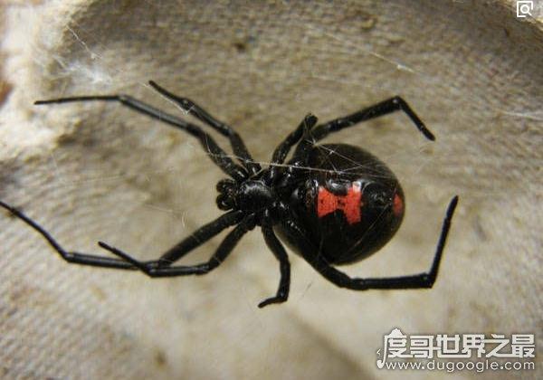 黑寡妇蜘蛛图片,寡妇名字由来(雌蛛在交配之后会吃掉雄蛛)