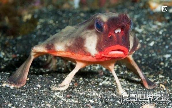世界上最妖娆的鱼,求红唇蝙蝠鱼同款口红色号(烈焰红唇)