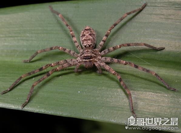 室内最大的蜘蛛,13cm长的白额高脚蛛是蟑螂的天敌