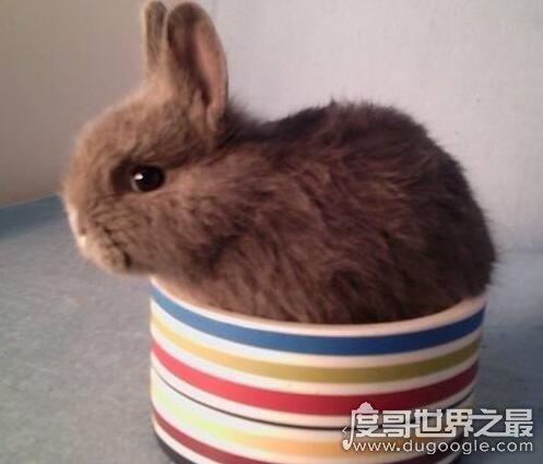 毛最长的兔子,巨型安哥拉兔毛长37cm(关于兔子的大众彩票投注网站)