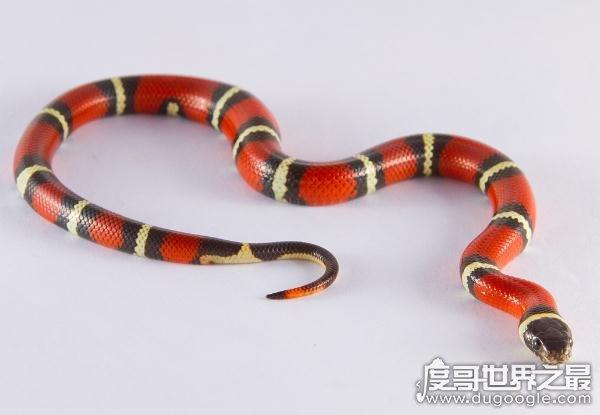 最受欢迎的宠物蛇,牛奶蛇爱好攻击和吞食其他的有毒或者无毒蛇(2)