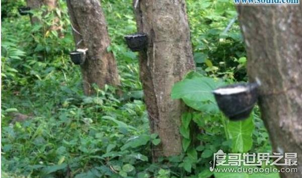 """世界上最神奇的植物,牛奶树(树皮中会流""""牛奶""""的树)"""
