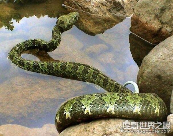世界上毒牙最长的蛇,加蓬蝰蛇(毒牙长5厘米/非洲最大毒蛇)