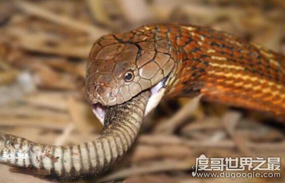 过山风是世界上最危险的蛇类,眼镜王蛇一口就能毒死大象