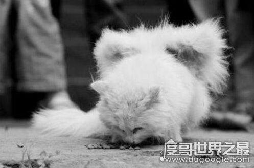 神秘生物天使猫,体型巨大长着翅膀还会飞(多次现身被目击)
