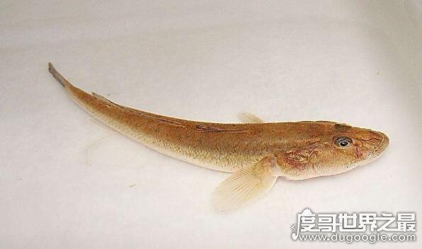 虾虎鱼是一个鱼类大家族,种类有2100多种(多数身材短小)