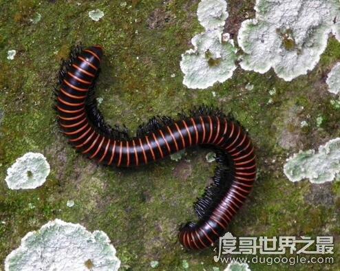 千足虫是世界上腿最多的生物,有一些马陆有700多条腿