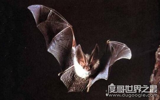 丑恶的吸血蝙蝠,一生可吸100升的血(100斤的人大概有4升血)