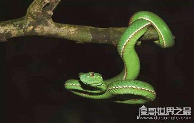 外形漂亮的竹叶青蛇,是一种全身翠绿危害性非常大的毒蛇